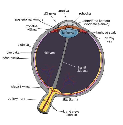 508px-Schematic_diagram_of_the_human_eye_slk_svg.png